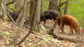 pig hunting in ohio
