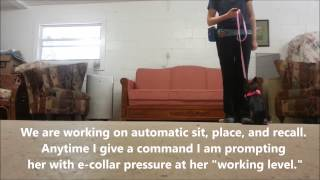 Nervous Chihuahua E-collar Board & Train- Take The Lead K9 Training