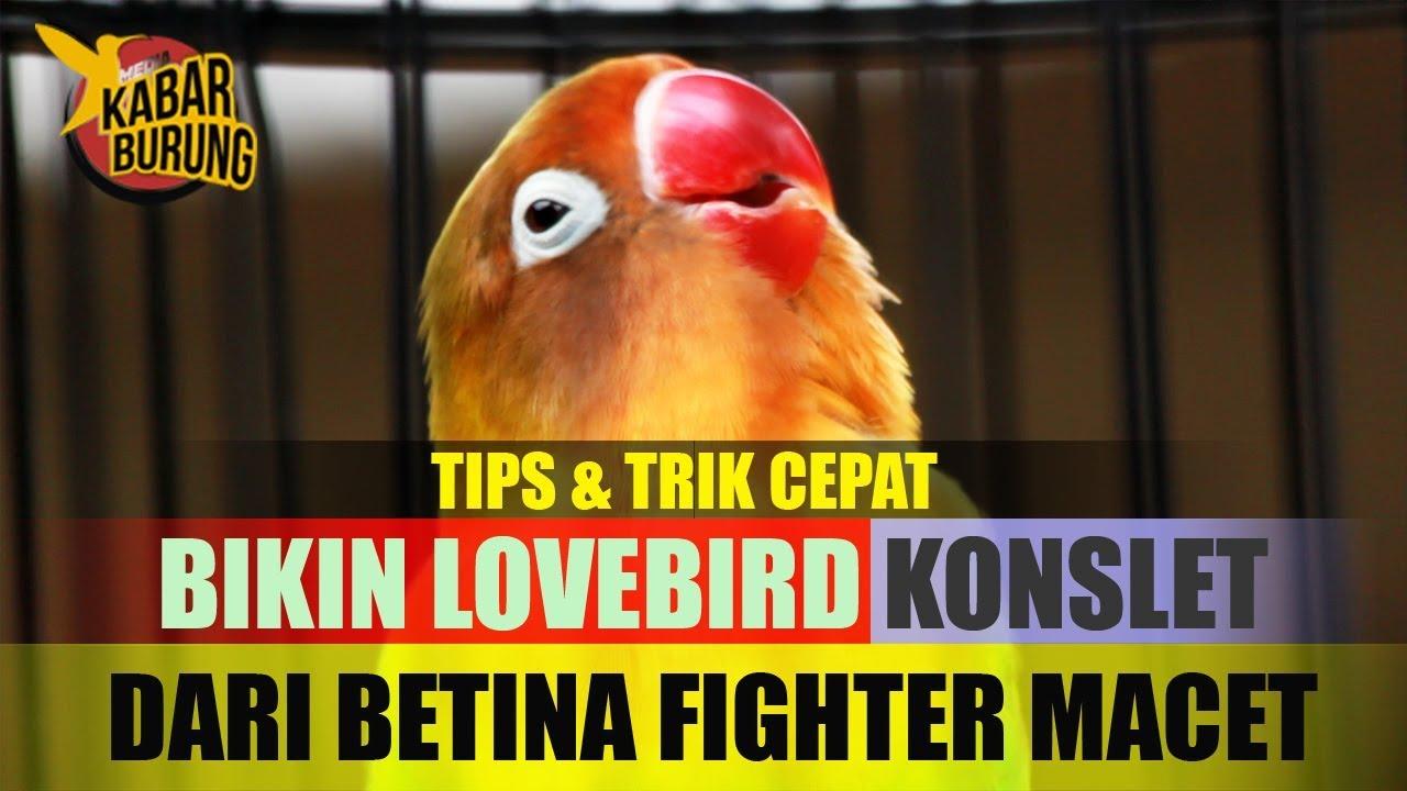Cara Membuat Lovebird Konslet Dari Lb Macet Youtube