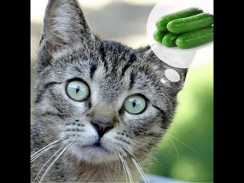 Cats scared of Cucumbers - Funny Cats vs Cucumbers compilation