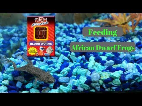 FEEDING AFRICAN DWARF FROGS