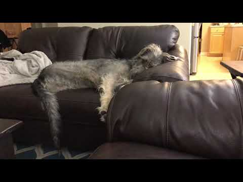Wolfhound Grohl Talking and Barking