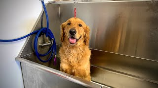 Grooming A Golden Retriever | A Much Requested Video [CC]