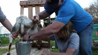 MILKING A GOAT!