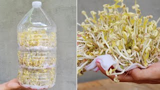 How to grow bean sprouts in Plastic bottles | Grow Bean Sprouts At Home