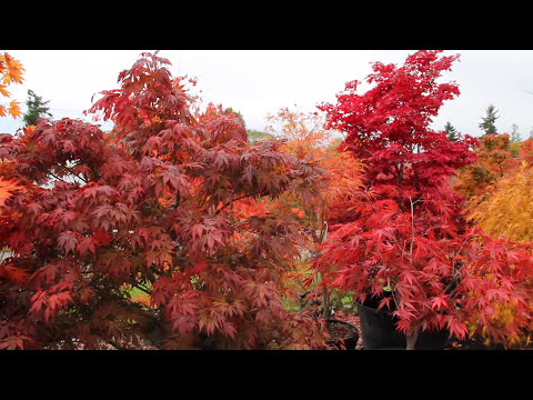 Amazing Maples & Crazy Conifers - Oct 2011