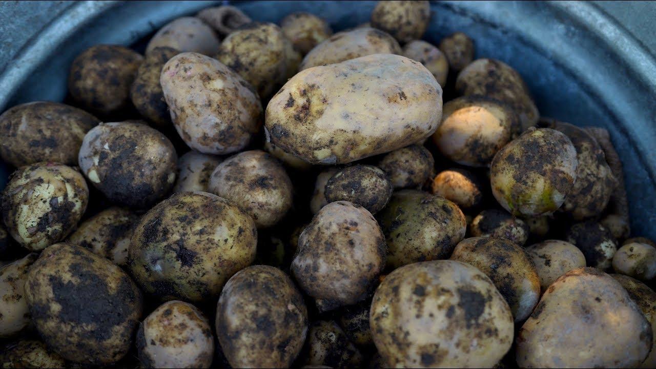 harvesting-potatoes-garden-answer