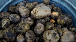 Harvesting Potatoes 👩‍🌾🥔// Garden Answer