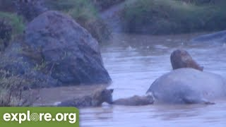 Hyena Pack Dines On A Dead Hippo (Graphic)