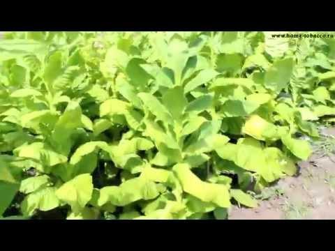 ТАБАК   Уборка урожая табака (первая ломка листа). Обзор плантации 19 Июля 2015г