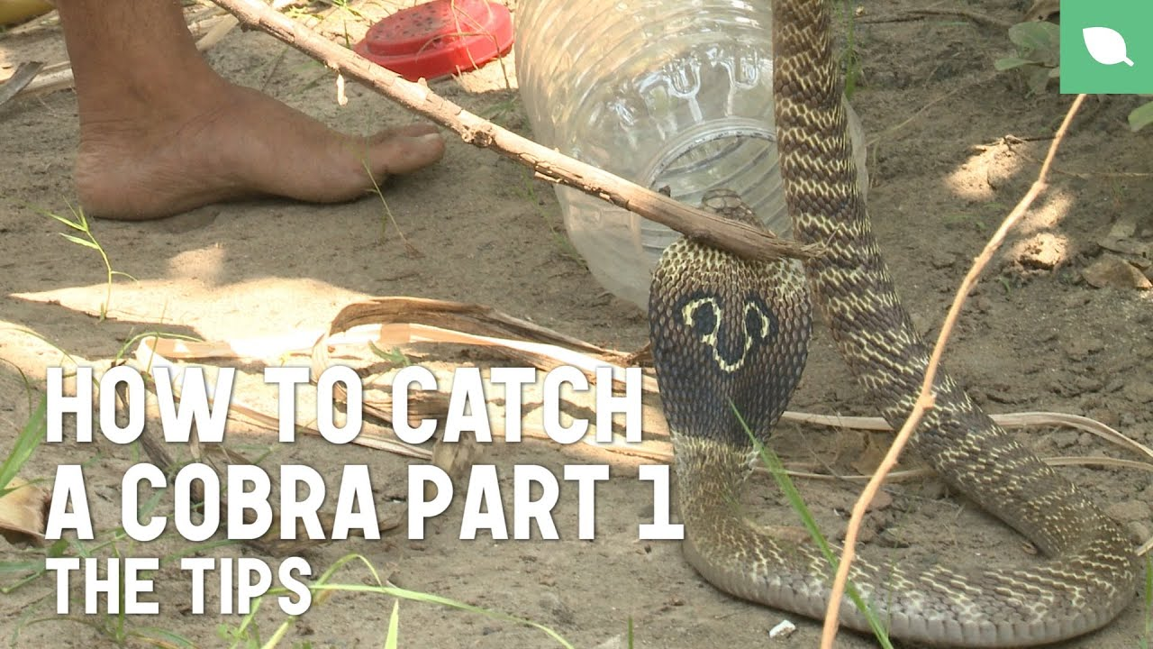 How to Catch a Cobra Part 1: The Tips