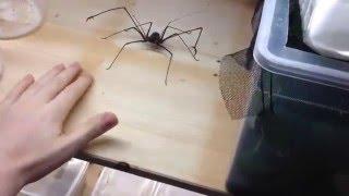 Cet homme s'amuse à se faire piquer par une énorme araignée   LABLAGUETV