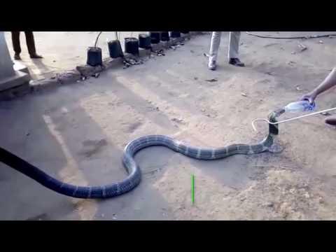 Ядовитые змеи гадюка, кобра, черная мамба фото, картинки