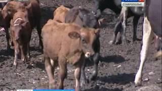 Прививки спасли коров от нодулярного дерматита