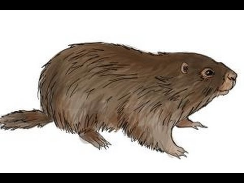 how to draw a groundhog youtube