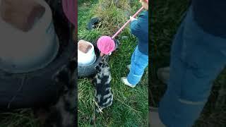 Щенки босерона (французская гладкошёрстная овчарка) - 8