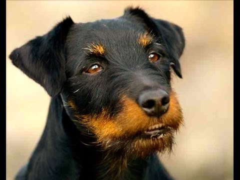 German Hunting Terrier (Deutscher Jagdterrier) - Dog Breed