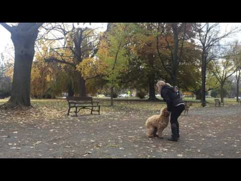 """Year Old Goldendoodle showing off """"Place"""" / NY Dog Trainers"""