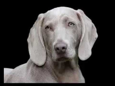 Dog Barking Audio -Dog Barking Crazy Dog Barking Dog Barking