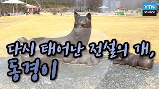 다시 태어난 전설의 개, 동경이 / YTN 사이언스