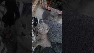 Британские котята спят на руках у мамочки. Купить британского котенка
