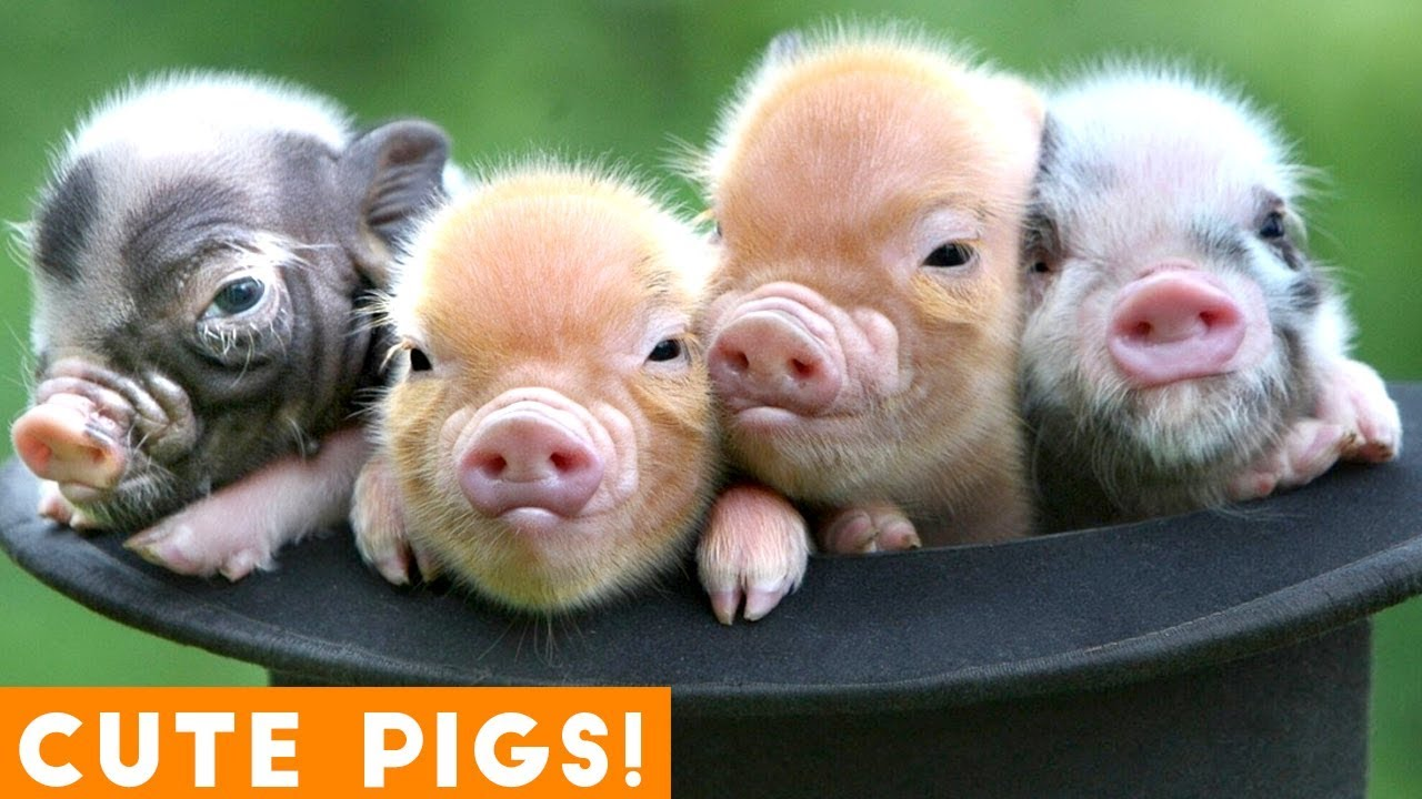 New Ultimate Cute Mini Pigs & Micro Pigs Compilation 2018 ...