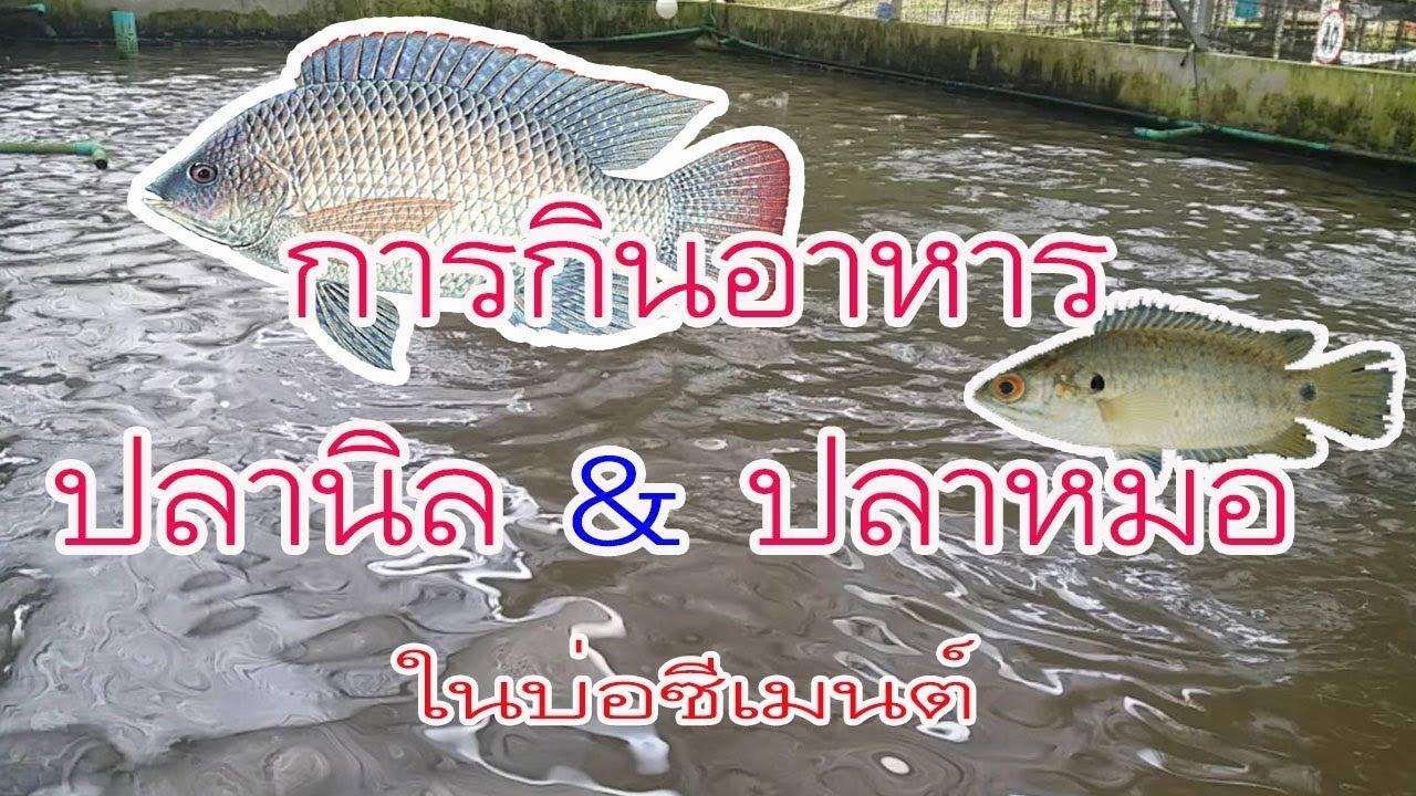 การกินอาหารของปลาหมอและปลานิลเลี้ยงในบ่อซีเมนต์