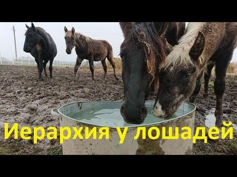 Об иерархии у лошадей