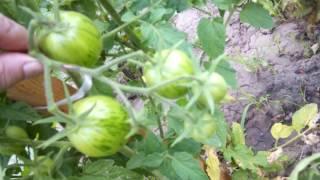 Садовые вздохи! Первые огурчики! Петунии расцветают!