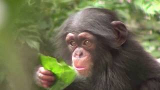 Download Video チンパンジー 双子の赤ちゃん105  Chimpanzee twin baby MP3 3GP MP4
