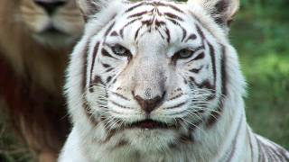 White Tigers - Cruelty NOT Conservation.