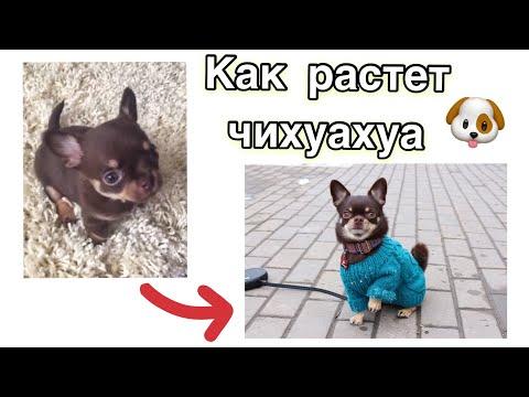Щенок чихуахуа от 3 недель до 3 лет. Chihuahua puppy from 3 weeks up to 3 years