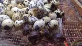 Koyel  bird  bd  01682387695