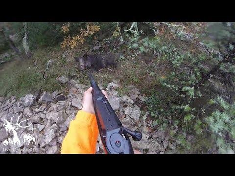 Sanglier / Chevreuil - Quelques scènes de chasse en battue !