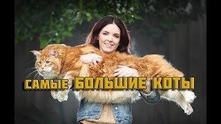 Самые Большие Породы Кошек. Коты - гиганты.