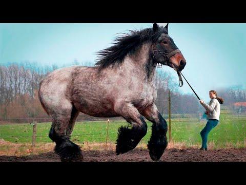 Посмотрите на Что Способна Самая Большая Лошадь в Мире