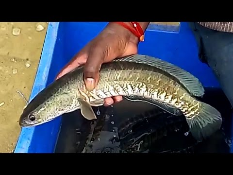 Amazing Cutting Fish Videos | Snakehead Murrel Fish Cutting | Amazing Live Fish