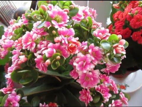 """""""Каланхоэ-5. Крупные цветы! Опыление? – цвета меняются! Идеи!"""""""