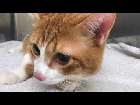 去勢手術後の猫らら A cat after castration surgery『保護猫るる らら物語』