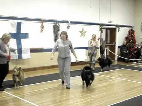 Lottie Jones of Cambridge at Southern Finnish Lapphund Society Breed Open Show 24-11-12
