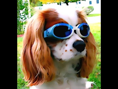 Cavalier King Charles Spaniel - funny and sweet video