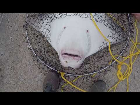 Fighting & Netting Cownose Rays! - Cambridge, Maryland