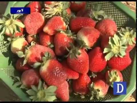 Strawberry Cultivation in Lahore