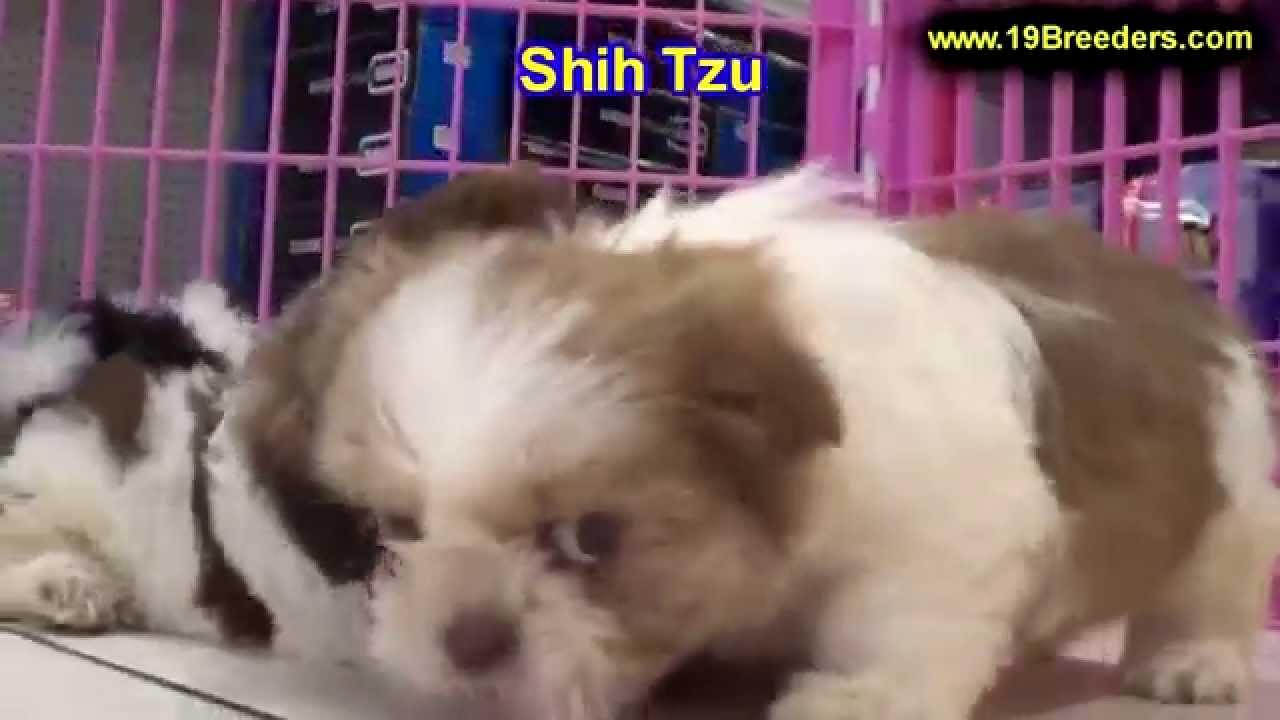 Shih Tzu Puppies For Sale In Bellevue Washington Wa Yakima