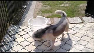 Siberian Husky ( Serbon ) hunting a mouse!!!