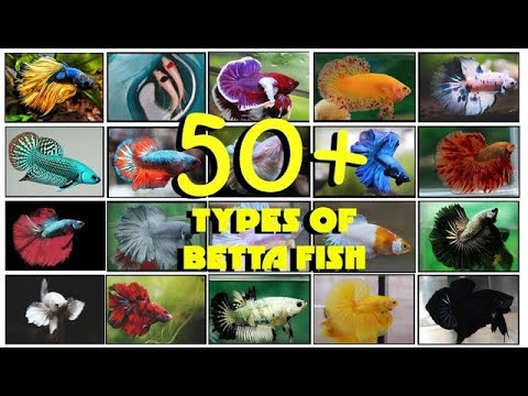 Types Of Betta Fish | 50+ BETTA TYPES You Should Know!! (Name & Description) By Glee Aqua Dragons