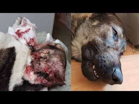 40kg Wolfdog one bite unpredicted attack aftermath