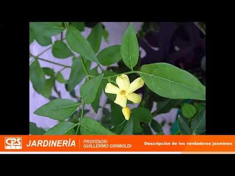 8° Charla de Jardinería – Bloque 2 – «Clasificación de jazmines»