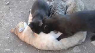 Мама - кошка кормит папу и своих старших детей.