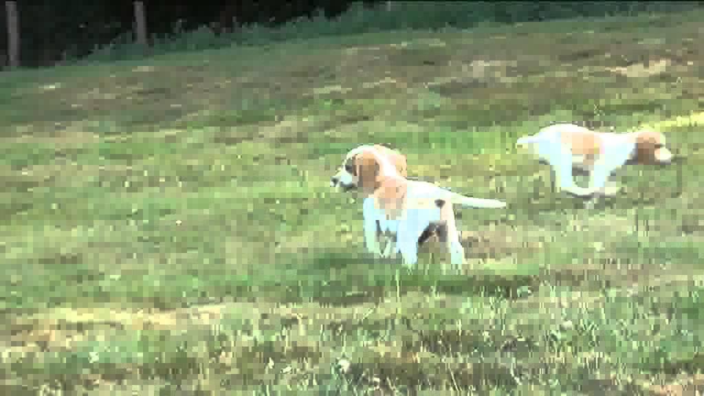 chiots beagle lemon de l'élevage de la couture AOUT 2013 ...